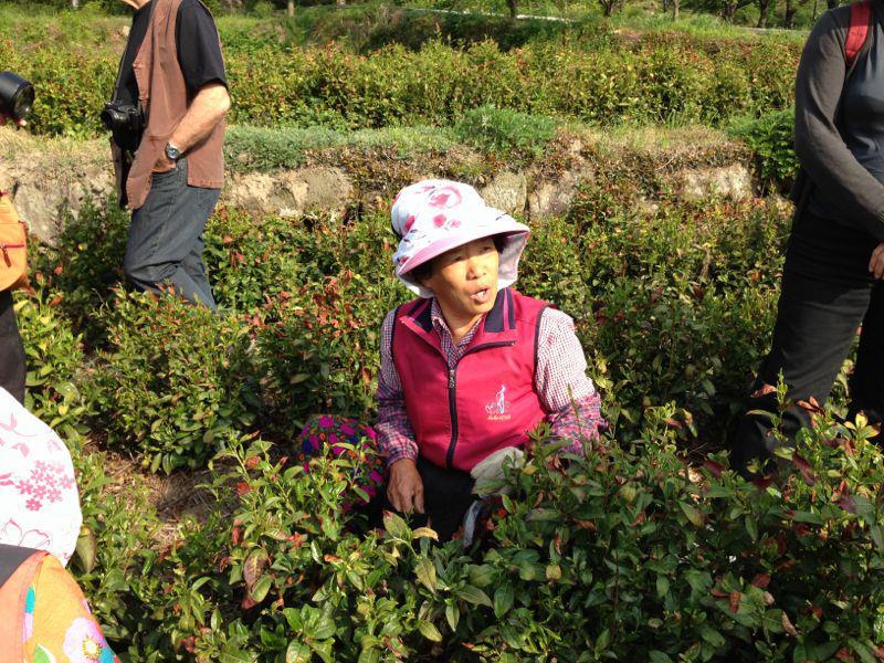 כפר החסידה הכחולה, קטיף תה, טיול מאורגן לקוריאה