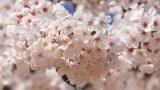 3518003201104008k_Cherry Blossom in Jinhae