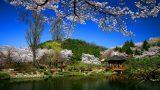 דרום קוריאה אפריל| פריחת הדובדבן בקוריאה | טיולים מאורגנים לקוריאה | Explore Korea | אקספלור קוריאה